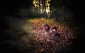 Картинка лес, собаки, Halloween