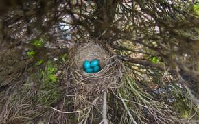 Картинка ветки, дерево, яйца, ель, голубые, кладка, гнездо, четыре, птичьи, яйца дрозда