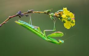 Картинка ветка, богомол, насекомое, квакша
