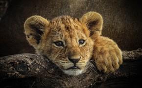 Картинка взгляд, котёнок, мордашка, львёнок