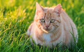 Картинка зелень, кошка, лето, трава, взгляд, свет, котенок, поляна, портрет, рыжий, котёнок, мордашка, сидит, желтые глаза
