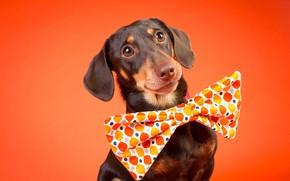 Картинка взгляд, морда, фон, портрет, собака, Такса, галстук-бабочка