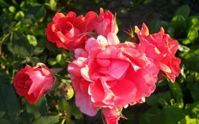 Картинка лето, куст, розы, Meduzanol ©