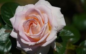 Картинка макро, роза, лепестки, розоая