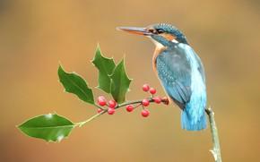Картинка взгляд, листья, ягоды, фон, птица, ветка, плоды, красные, птичка, сидит, красавчик, зимородок, яркое оперение, пташка