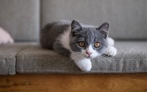 Картинка кошка, котенок, серый, диван, лежит