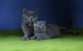 Картинка кошки, котенок, мама, синий фон, британские