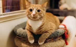 Картинка кошка, кот, взгляд, рыжий, котейка