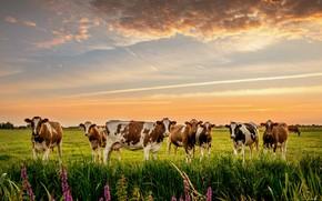 Картинка природа, коровы, луг, стадо