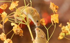 Картинка парочка, мышки, Мышь-малютка
