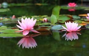 Картинка пруд, фон, кувшинки, водяная лилия