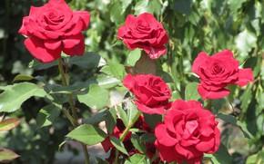 Картинка куст, розы, пух, красные розы, Meduzanol ©, лето 2018