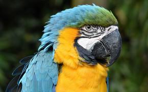 Картинка взгляд, яркий, фон, птица, портрет, попугай, ара