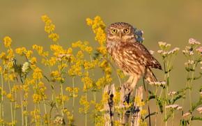 Картинка цветы, сова, птица, желтые, сыч
