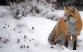 Картинка зима, снег, природа, лиса, сугробы, сидит, снегопад