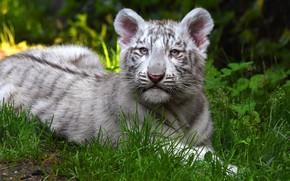 Обои зелень, кошка, белый, трава, природа, тигр, фон, малыш, лежит, дикие кошки, мордашка, детеныш, тигренок, тигрёнок