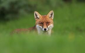 Картинка red, grass, fox
