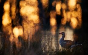 Картинка природа, птица, утка