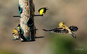 Картинка птицы, корм, кормушка, зяблики, Finches