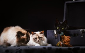 Картинка кошки, темный фон, коты, чемодан, трио
