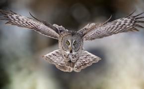 Картинка взгляд, полет, фон, сова, птица, неясыть, размах крыльев