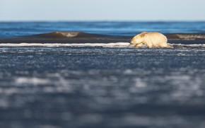 Картинка зима, море, белый, снег, природа, поза, берег, медведь, медведи, мишка, медвежонок, белый медведь, крадется, белые …