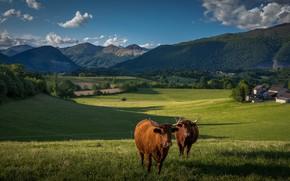 Картинка зелень, поле, лес, лето, облака, свет, горы, синева, холмы, склоны, коровы, деревня, пастбище, луг, пара, …