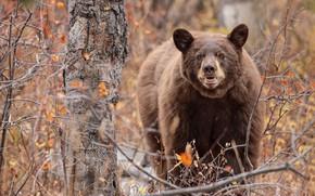 Картинка осень, лес, взгляд, ветки, природа, поза, дерево, медведь, мишка, бурый