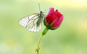 Картинка бабочка, роза, белянка