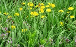 Картинка трава, цветы, луг, одуванчики, весна 2018, Meduzanol ©