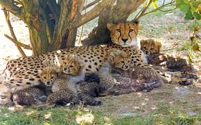 Картинка поза, дерево, отдых, поляна, котята, гепард, малыши, мама, много, лежат, детеныши, гепарды, выводок, многодетная мать