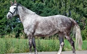 Картинка природа, фото, лошадь, серая лошадь