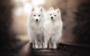 Картинка рельсы, железная дорога, парочка, боке, две собаки, двойняшки, Японский шпиц