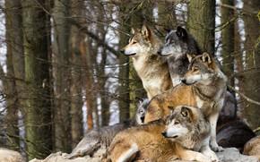 Картинка взгляд, ветки, природа, камни, волк, волки, стая волков