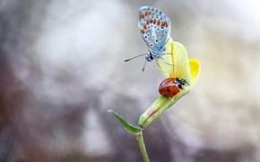Картинка цветок, макро, насекомые, желтый, бабочка, божья коровка, жук, размытие, парочка, дуэт, светлый фон, друзья, боке