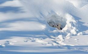 Картинка снег, Канада, медвежата, белый медведь, Манитоба