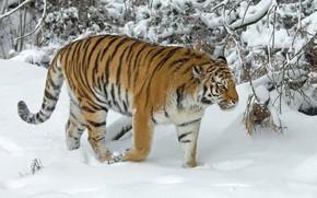 Картинка зима, снег, деревья, тигр, дикая кошка