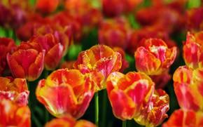 Картинка свет, цветы, яркие, весна, тюльпаны, оранжевые, клумба, боке