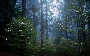 Картинка лес, деревья, природа, утро, сумерки, секвойя