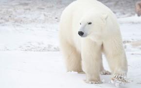 Картинка зима, белый, взгляд, снег, фон, медведь, прогулка