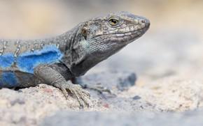 Картинка взгляд, ящерица, светлый фон, голубая, желтые глаза, рептилия