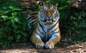 Картинка зелень, трава, морда, солнце, природа, тигр, хищник, лапы, лежит, красавец, крапива