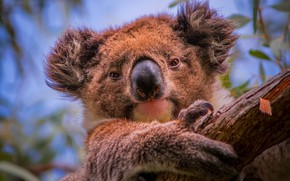 Картинка дерево, портрет, мордашка, коала