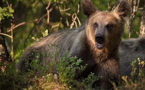 Картинка ветки, природа, животное, хищник, медвежонок, подросток, Александр Перов