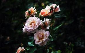 Картинка куст, розы, клумба
