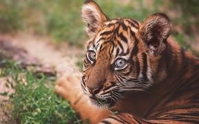 Картинка взгляд, морда, тигр, портрет, лежит, тигренок