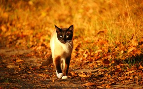 Картинка осень, размытый фон, сиамская кошка