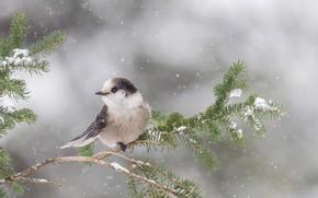 Картинка снег, птица, ветка, Онтарио, канадская кукша, канадская ронжа