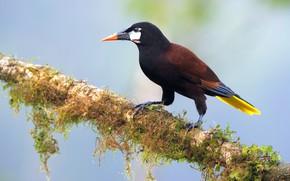 Картинка птица, ветка, оропендола-монтецума