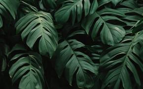 Картинка beautiful, green leaves, monstera